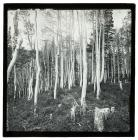 Quaking Aspen Grove, White Pine Canyon