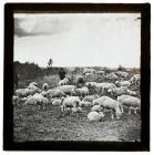 Sheep, Utah